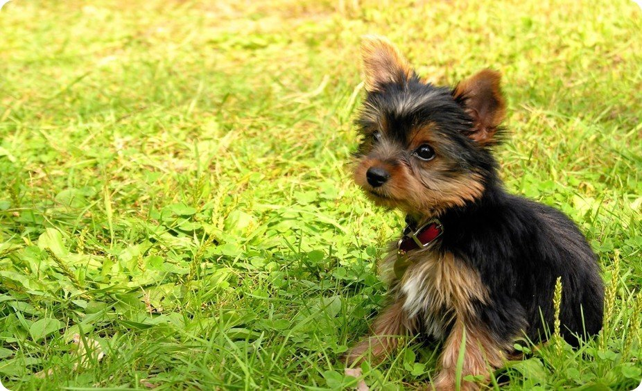 Yorkshire Terrier Puppy Green Fields